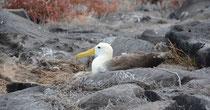 Galápagos Albatross