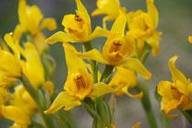 Orquidea amarilla, Chloraea alpina