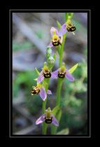 Bienen Ragwurz, Ophrys opifera