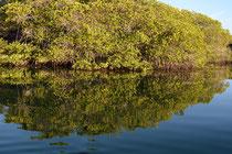 Mangroven bei Caleta Tortuga Nagra, Santa Cruz