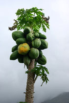 Papaye, Carica papaya
