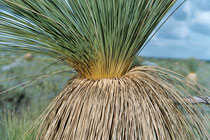 Desert grass-tree