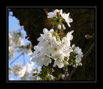 Kirschenblühten