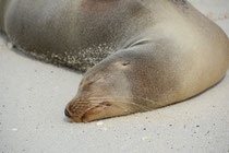 Galápagos-Seelöwe / Galapágos Sea Lion