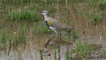 Tero comun, Vanellus chilensis (Southern Lapwing)