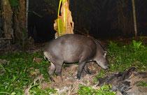 Tapir, Rio Madre de Dios, Peru