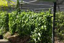 Vanilleplantage in St-André