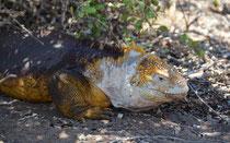 Landleguan / Land Iguana