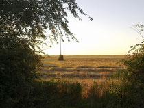 Dans le champs bordant le chantier, le blé issu de l'agriculture raisonnée, sans produits chimiques, est coupé et la paille sèche tranquillement en attendant la botteleuse.