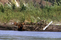Elchbulle beim Bad im Pelly River
