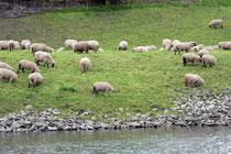 Schafe am Ufer