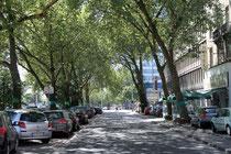 August 2013 - Die Stadt will diese 80jährigen Platanen auf der Mercatorstraße fällen, damit künftig der Verkehr einspurig an der geplanten Neubebauung vorbei fahren kann. Eine Bürgerinitiative und Umweltverbände wollen den Erhalt der Bäume erreichen.