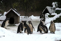 Zoo - Pinguine