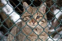 Zoo - Wildkatze