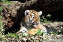 Oktober 2011 - Ein bisschen tapsig waren die ersten Schritte der neugeborenen sibirischen Tigerdame im Duisburger Zoo. Aber damit ist die noch namenlose Tochter von Tiger-Mutter Gisa und Tiger-Vater El-Roi der absolute Star im Duisburger Zoo.