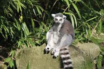 Mai 2010 - Die Natur erwacht und gleichzeitig sind auch die Tiere wieder aktiver. Hier ist ein neugieriger Katta im Zoo unterwegs.