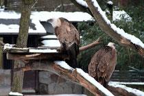 Zoo - Gänsegeier