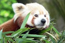 Mai 2007 - Das schöne Wetter des wärmsten April seit Menschengedenken lädt zu einem Besuch des Duisburger Zoos ein, wo auch der Kleine Panda, ein Chinesischer Katzenbär, aktiv ist.