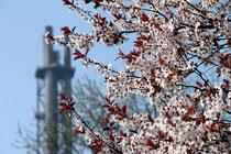 April 2011 - Endlich wieder Frühling! Die Tage werden länger, die Temperaturen steigen und alles blüht. Wie hier vor dem Stadtwerke-Turm.