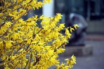 April 2010 - Nach dem langen Winter wird es jetzt ganz langsam Frühling. Die ersten Bäume und Büsche blühen schon - wie hier im Kantpark am Lehmbruck-Museum.
