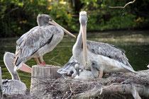 Mai 2015 - Nachwuchs bei Familie Pelikan im Duisburger Zoo. Es muss Frühling sein...!