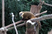 Zoo - Nasenbär