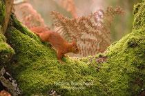 Écureuil roux, Forêt d'Ecouves