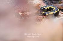 Salamandre tachetée, Forêt d'Ecouves