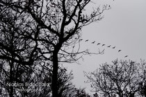 Soudain j'ai vu, Oies sauvages, Forêt d'Ecouves