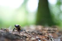 Salamandre tachetée juvénile, Forêt d'Ecouves