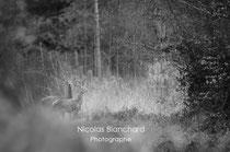 Biche et son faon, Forêt d'Ecouves