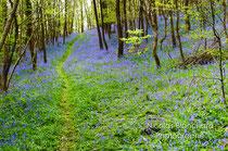 Jacinthes en sous bois, Radon, Forêt d'Ecouves