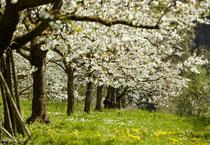 Baumblüte bei Sipplingen 180418-489