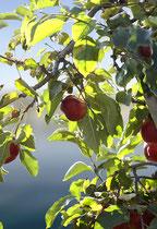 Rote Äpfel am Baum im Gegenlicht 181017