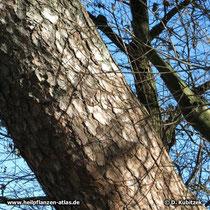 Der Stamm der Gewöhnlichen Kiefer (Pinus sylvestris) ist zweifarbig: Im unteren Teil ist die Borke grauschwarz bis dunkelbraun.