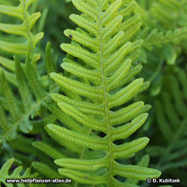 Gewöhnlicher Tüpfelfarn (Polypodium vulgare), Wedel Oberseite