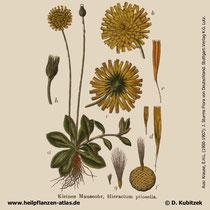 Kleines Habichtskraut (Hieracium pilosella), historisches Bild