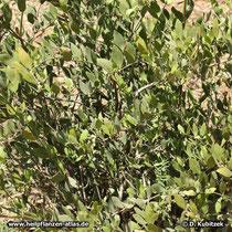 Jojobastrauch, Simmondsia chinensis