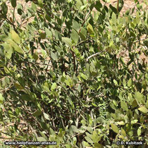Jojobastrauch (Simmondsia chinensis)