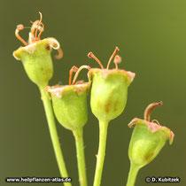 Unreife Früchte des Zweigriffeligen Weißdorns mit den Überresten von je zwei Griffeln.