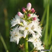 Fieberklee (Menyanthes trifoliata), Blütenstand