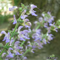 Rotwurzelsalbei (Salvia miltiorrhiza), Blütenzweige