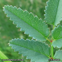 Großer Wiesenknopf (Sanguisorba officinalis), Fiederblättchen