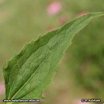 Purpurfarbenen Sonnenhut (Echinacea purpurea), Blatt