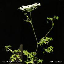 Chinesische Angelika (Angelica sinensis)