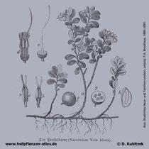 Preiselbeere, Vaccinium vitis-idaea