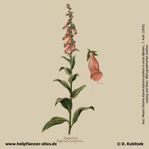Roter Fingerhut, Digitalis purpurea; Historisches Bild