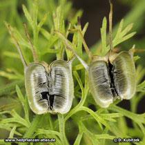 Echter Schwarzkümmel (Nigella sativa), geöffnete Samenkapsel