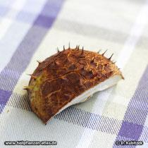 """Rosskastanie (Aesculus hippocastanum) ist ein typischer """"Biergarten-Baum"""". Wer im Herbst im Biergarten sitzt, freut sich, wenn herabfallende Früchte wie hier auf dem Tisch zerschellen - und nicht auf dem Kopf."""