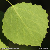 Zitter-Pappel (Populus Tremula), Blatt Unterseite